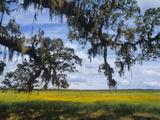 Oak and Coreopsis Meadow  Myakka River State Park  Florida  Usa