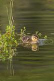 Mottled Duck Duckling on Pond