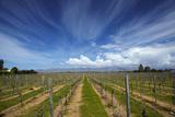Vineyard Near Blenheim  Marlborough  South Island  New Zealand