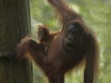 Orangutan Mother with its Baby  Sabah  Malaysia