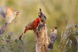 Northern Cardinal and Pyrrhuloxia Perched on Dead Limb
