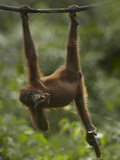 Baby Orangutan Eating Bamboo  Sabah  Malaysia