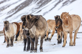 Icelandic Horses in Winter Pasture Near Hofn  Iceland