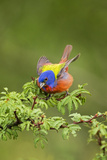 Painted Bunting Male on Breeding Territory