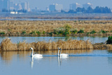 Two Male and One Female Tundra Swans Swimming   the Background