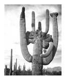 Saguaro National Monument  Arizona  ca 1941-1942