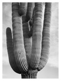 Detail of cactus Saguaros  Saguro National Monument  Arizona  ca 1941-1942