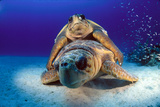A Pair of Endangered Loggerhead Sea Turtles  Caretta Caretta  Mating