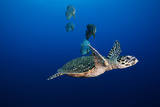 A Hawksbill Sea Turtle and Batfish Swim in Kimbe Bay's Jayne's Gulley