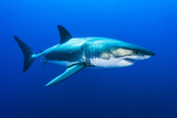 Great White Shark  Carcharodon Carcharias  Swimming
