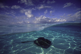 A Split Level View of a Southern Stingray Resting on the Sea Floor  with Puffy Clouds Overhead