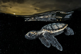 A Critically Endangered Hawksbill Sea Turtle Hatchling Paddles Away from Shore