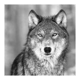 Loups Reproduction d'art par PhotoINC Studio