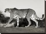 Cheetah  Namibia  Africa