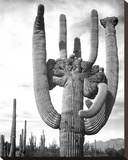 Saguaro National Monument  Arizona  ca 1941-1942