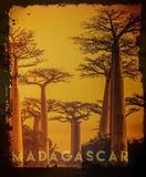 Vintage Baobab Trees in Madagascar  Africa