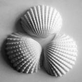 Clam Sea Shell