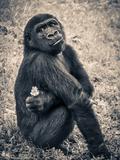Chimpanzee Gorilla