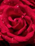 Red Rose Closeup Waterdrops
