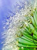 Dandelion Seedhead Water 5