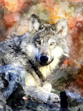 Wolf Animal Wild Mammal