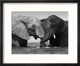 Two African Elephants Playing in River Chobe, Chobe National Park, Botswana Reproduction encadrée par Tony Heald