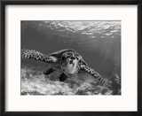 Sea Turtle  Swimming Underwater  Nosy Be  North Madagascar