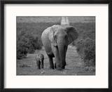 Mother and Calf, African Elephant (Loxodonta Africana), Addo National Park, South Africa, Africa Reproduction encadrée par Ann & Steve Toon