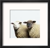 Sheep Standing Side by Side Reproduction encadrée par Adrian Burke