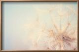 Dandelion Dreams Reproduction encadrée par Laura Evans
