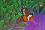 Orange Clownfish on Magnificent Anemone