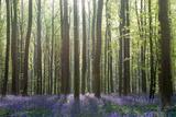 Bluebell Wood in Hallerbos  Belgium in Spring
