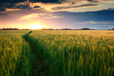 Beautiful Sunset  Field with Pathway to Sun  Green Wheat