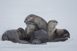 North American River Otters on the Frozen Snake River in Grand Teton National Park