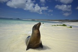 A Galapagos Sea Lion  Zalophus Wollebaeki  on Beach in the Galapagos Islands  Ecuador