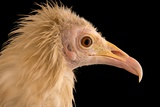 An Egyptian Vulture at Parco Natura Viva  in Bussolengo  Italy