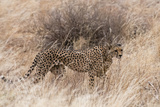 A Cheetah  Acinonyx Jubatus  Walking in the Tall Grass  Samburu National Reserve  Kenya