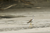 A Lesser Yellowlegs  Tringa Flavipes in Manu National Park
