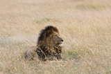 Portrait of a Male Lion  Panthera Leo  Masai Mara  Kenya