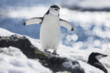 A Chinstrap Penguin Stands Near Another Penguin in the Snow