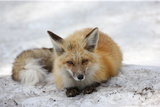 A Red Fox  Vulpes Vulpes  Rests on Snow