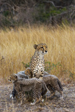 A Mother Cheetah Stands Surrounded by Her Cubs in the Phinda Game Reserve