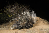 A Remote Camera Trap Captures a Porcupine Kalama Conservancy  Samburu  Kenya