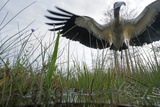 A Wood Stork Hunting in Habitat Effected by Rising Sea Levels