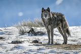 A Lone Member of the Phantom Springs Wolf Pack Stands in Grand Teton National Park