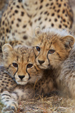 Two Cheetah Cubs  Acinonyx Jubatus  Rest Together Near their Mother
