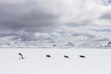 Gentoo Penguins Walk across Sea Ice