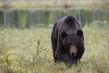 A European Brown Bear  Ursus Arctos  Kuhmo  Finland