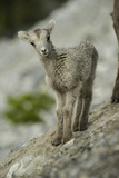 A Baby Stone Sheep Looks Inquisitive in This Portrait