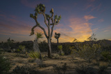 A Joshua Tree Bends over a Mohave Yucca Plant in Joshua Tree National Park
